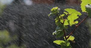 Hojee con el descenso del agua de lluvia con el fondo verde almacen de video