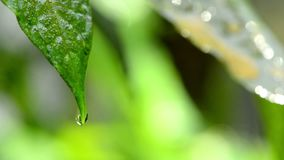 Hojee con el descenso del agua de lluvia con el fondo verde metrajes