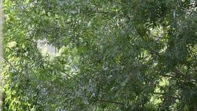 Hojee de un árbol - moviéndose en el viento metrajes