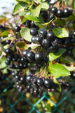 Сhokeberry (Aronia) berries Stock Photography