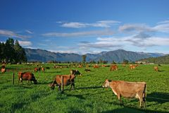 Brown cattle with ear tags grazing behind wire fence on flat grassland with hills. Hokitika on South Island, New Zealand stock image