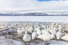 HOKKAIDO, JAPAN-JAN 31, 2013: Cisnes no lago Kussharo, Hokkaido foto de stock