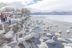 HOKKAIDO JAPAN-JAN 31 2013: Svanar i sjön Kussharo, Hokkaido royaltyfri fotografi