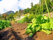 Hokkaido, Japan, am 22. Juli 2017: Abschluss oben von Ernten des Kopfsalates in Tomita-Bauernhof ist einer der vielen Bauernhöfe  Lizenzfreies Stockbild