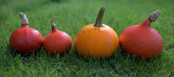 Hokkaido pumpkins in season. Red and orange hokkaido pumpkins, decorated on the grass in a row with shallow DOF Royalty Free Stock Image