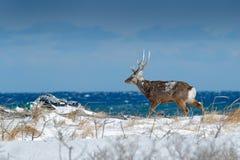 Hokkaido sika deer, Cervus nippon yesoensis, in snow meadow, blue sea with waves in background. Animal with antler in nature habit. At stock image