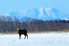 Hokkaido sika deer, Cervus nippon yesoensis, in the snow meadow, winter mountains and forest in the background, animal with antler. Japan stock images