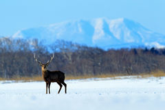 Hokkaido sika deer, Cervus nippon yesoensis, in the snow meadow, winter mountains and forest in the background, animal with antler Royalty Free Stock Photography