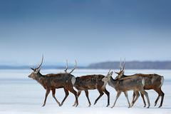 Hokkaido sika deer, Cervus nippon yesoensis, in snow meadow, winter mountains and forest in the background. Animal with antler in. Japan stock photography