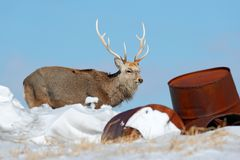 Hokkaido sika deer, Cervus nippon yesoensis, in snow meadow, winter mountains and forest in the background. Animal with antler in. Nature habitat, winter scene royalty free stock photography