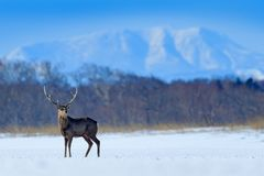 Hokkaido sika deer, Cervus nippon yesoensis, on the snowy meadow, winter mountains and forest in the background, animal with stock photo