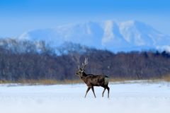 Hokkaido sika deer, Cervus nippon yesoensis, on the snowy meadow, winter mountains and forest in the background, animal with royalty free stock images