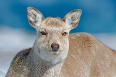 Hokkaido sika deer, detail portrait, in snow meadow, winter mountains and forest in the background. Animal with antler in nature h. Abitat, winter scene Royalty Free Stock Images