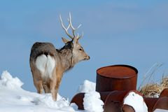 Hokkaido sika deer with rubbish steel metal barrel. Animal with antler in urban dump site, winter scene, Hokkaido, wildlife nature. Japan royalty free stock photo
