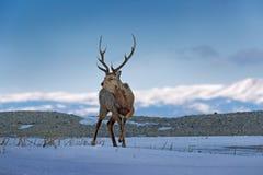 Hokkaido-Sikahirsche, Cervusbewohner- von nipponyesoensis, in der Schneewiese, in den Winterbergen und im Wald im Hintergrund Tie Stockfotos
