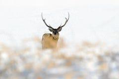 Hokkaido sikahjortar, Cervusnippon yesoensis, i den vita snön, vinterplatsen och djuret med hornet på kronhjort i naturlivsmiljön Arkivfoton