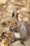 Hokkaido Squirrel eating a walnut Stock Photo