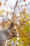 Hokkaido Squirrel eating a walnut Stock Photos