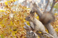 Hokkaido Squirrel on a fallen tree Stock Image