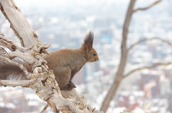 Hokkaido Squirrel looking city view Stock Photos
