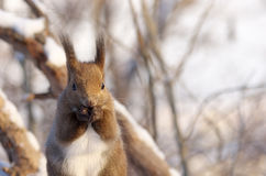 Hokkaido Squirrel in Winter mountain Stock Photography