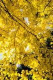 Hokkaido University at Autumn Season. Stock Photos