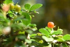 Hokkien花和叶子茶 库存照片