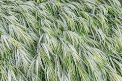 Hokone Grass Royalty Free Stock Images