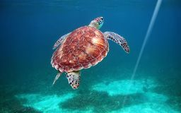 Hol Chan national park, Belize, scuba diving. With turtles royalty free stock photography