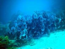 Hol Chan park narodowy w Belize akwalungu pikowaniu obraz stock
