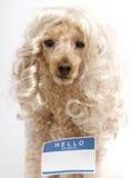 Hola mi nombre es… etiqueta engomada en perro rubio Fotos de archivo libres de regalías