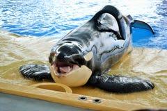 Hola orca imagenes de archivo