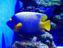 Holacanthus ciliaris. Queen Angelfish. exotic fish Stock Photos