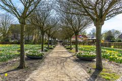 Holanda ideia da mola do março de 2018 de uma fileira longa de árvores desencapadas imóveis, com campos e caixas da flor de narci imagem de stock
