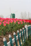 Holandia scena - tulipany i wiatraczek Zdjęcia Royalty Free
