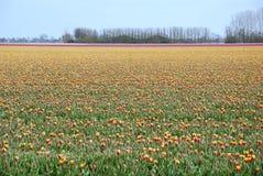 Holandia tulipany Obrazy Royalty Free