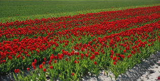 Holandia tulipany Obrazy Stock