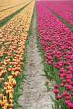 Holandia tulipany Obraz Stock