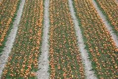 Holandia tulipany Fotografia Stock