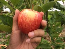 Hold the apple in your hand with gentle. royalty free stock photo