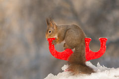 Hold the candleholder. Red squirrel standing and holding on to a candleholder standing on snow Stock Photography