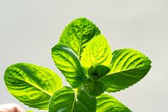 Hold a sprig of fresh mint in your hand under the bright rays of the sun . Branch mint leaves isolated on grey background
