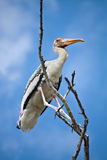 Hold Tight. A painted stork is grabbing on a tree Stock Image