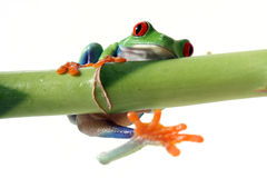 Hold On Tight. Funny Red-Eyed Tree Frog falling off bamboo Stock Images