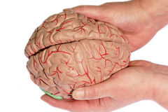 Holded human brain. Human Brain holded by two hands stock photo