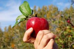Holding Apple della mano fotografia stock