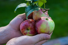 Holding apples Stock Photography