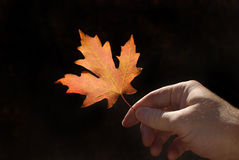 Holding Autumn Leaf Royalty Free Stock Photography