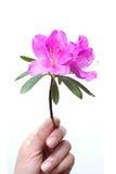 Holding azalea flower isolated Stock Photography