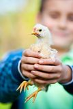 Holding baby chick Stock Images